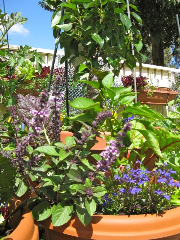 Basil, lobelias, capsicum plant, and a little pear tree